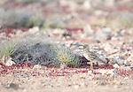 Stone Curlew, Burhinus oedicnemus, Tindaya Plain, Fuerteventura, Canary Islands, Spain
