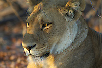 Sleepy lion (panthera leo) in the early morning light.<br /> The Khwai side of Moremi in the Okavango Delta, Botswana.