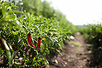 July 29, 2011. Cary, NC.. One of the jalapeño pepper plants at the SAS onsite farm, which provides many of the fresh vegetables for the cafeterias on the company's campus.. Profile of SAS, a software company that has many amenities for its employees.