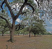 HDR image of Oak Trees within Herman Memorial Park.