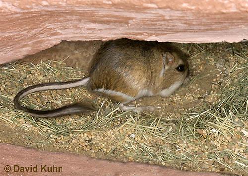 1114-0802  Merriam's Kangaroo Rat Underground in Burrow, Dipodomys merriami © David Kuhn/Dwight Kuhn Photography