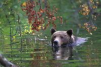 An Alaskan brown bear swims in a river with an overhang of fall leaves.