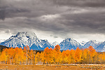 Bright yellow and orange aspen trees decorate the scene as rainclouds swirl overhead in Grand Teton National Park, Wyoming.