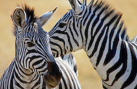 Common Plains Zebra (Grant's), Ngorongoro Crater, Tanzania