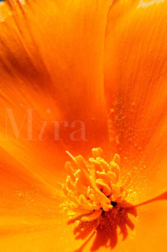 California Poppies (Eschscholzia californica) Antelope Valley near Lancaster, California