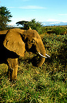 Kenya East Africa, Elephant at Samburu, wildlife    .Photo copyright: Lee Foster, www.fostertravel.com, photo kenyas104, 510-549-2202, lee@fostertravel.com
