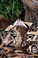 489254010 a captive adult west african gaboon viper bitis gabonica rhinoceros raises its head to check its surroundings