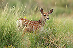 Mule Deer Fawn in Tall Grass
