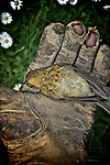 A small dead bird held in the hand of a gardeners old eather glove