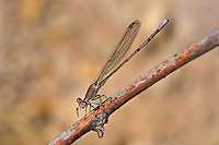 338240003 a wild male amethyst dancer argia pallens perches on a dead stick eating a bug near a small pond in las cienegas natural conservation area pima county arizona united states..GPS:N  31.89899; W -110.689444