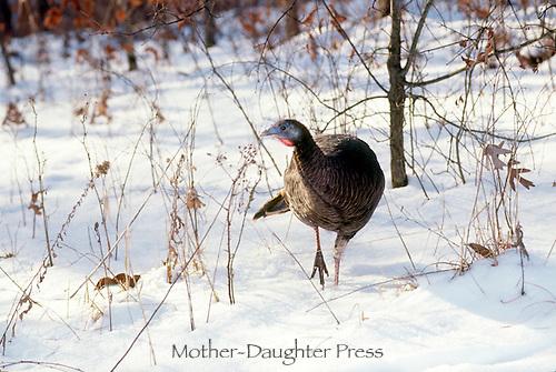 Female wild turkey, Meleagris Gallopavo, walking through snow field, Midwest USA