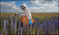 BNPS.co.uk (01202) 558833<br /> Picture: PhilYeomans/BNPS<br /> <br /> Major Wilks in Vipers Bugloss blooms.<br /> <br /> Long hot summer a boost for the bee man of Salisbury Plain.<br /> <br /> One of Britains last wilderness area's is a hive of activity this summer as an army of busy bees swarm across Salisbury plain in Wiltshire.<br /> <br /> Major Chris Wilkes commands an astonishing 8 million bees in 150 hives dotted across the unique enviroment of the plain. The chalkland host's an amazingly wide range of rare wildflowers as 60,000 acres of SSSI have never been treated with modern pesticides.<br /> <br /> The wet winter and dry spring have produced perfect conditions for the diverse flora of the grasslands, with the isolation of the plain creating a cornucopia of the top nectar flowers in the UK  producing a honey with the distinctive flavour of one of Britains last wilderness areas.