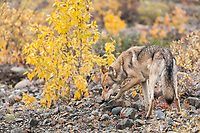 Gray wolf sniffs the rocks of a stream drainage in Denali National park, interior, Alaska.