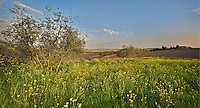 Mustard Flowers & Olive Trees