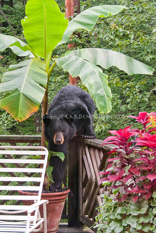 Black Bear on backyard deck with Banana Tree Musa & coleus in pots, Pennsylvania, tropical plant and North American native mammal animal.