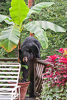 Black Bear on backyard deck with Banana Tree in pot