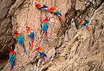 Scarlet and Red-and-Green macaws on clay lick, Tambopata-Candamo National Reserve, Peru