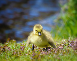 Geese and Especially  Goslings*