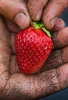 Farmer with dirt worn into the creases in his hands holds a strawberry raised on his farm. The berries and other produce is for sale at a local farmers market.