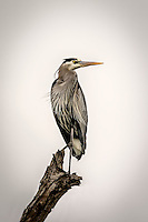 A Great Blue Heron perches atop a dead tree at Bolsa Chica Preserve in Huntington Beach, California