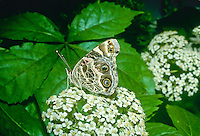 American Painted Lady Butterfly on white flowers