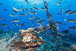 Apataki Atoll, Tuamotu Archipelago, French Polynesia; a school of spotted unicornfish swimming over a large anchor resting amongst the coral reef