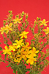 St Johnswort Family