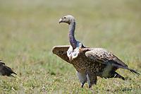Vultures on kill, Serengeti National Park, Tanzania, East Africa