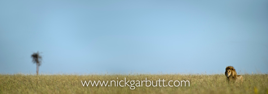 Male Lion (Panthera leo) in long grass. Serengeti National Park, Tanzania. (digitally stitched image)