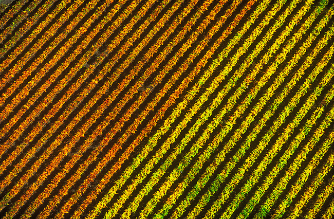 Aerial of vineyards with fall colors