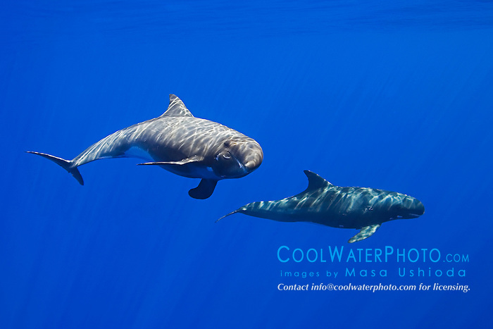 Pygmy Killer Whales, Feresa attenuata, off Kona Coast, Big Island, Hawaii, Pacific Ocean.