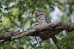 """Tawny frogmouth with chick. The tawny frogmouth (Podargus strigoides) is a species of frogmouth native to Australia that is found throughout the Australian mainland and Tasmania. Tawny frogmouths are big-headed stocky birds often mistaken for owls due to their nocturnal habits and similar colouring. The tawny frogmouth is sometimes incorrectly referred to as """"mopoke"""", a common name for the southern boobook whose call is often confused for the tawny frogmouth's."""