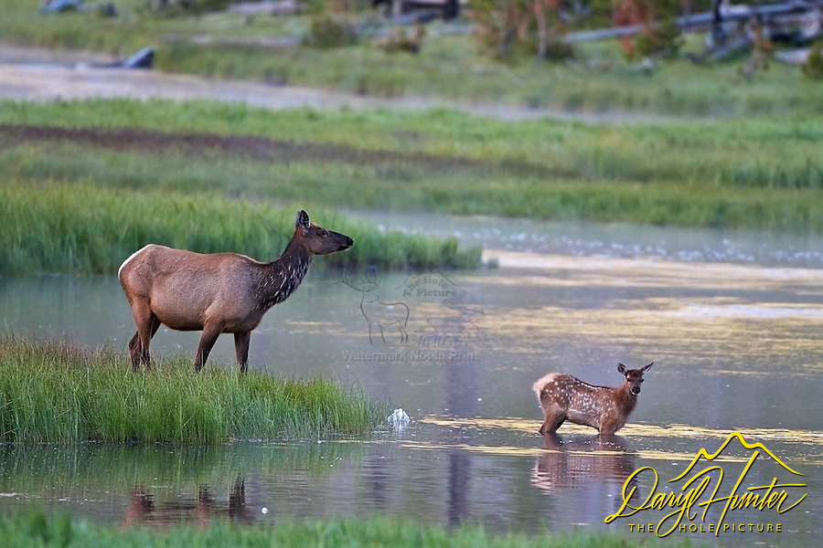 Elk Cow and calf crossing Madison River in  Yellowstone National Park