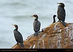 Double-Crested Cormorants and Pelagic Cormorant, Highway 1, Monterey, California