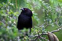 Bronzed Cowbird