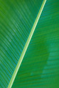 Banana tree leaf; Wailea, Maui, Hawaii.