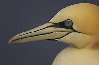 Gannet (Morus bassanus) portrait, Saltee Islands, Ireland
