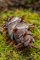 Douglass Fir cone lying on moss