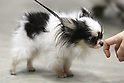 Apr. 3, 2010 - Tokyo, Japan - A dog is pictured during the Japan International Dog Show 2010 at Tokyo Big Sight on April 3, 2010 in Tokyo, Japan.