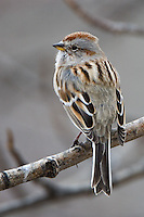 American Tree Sparrows