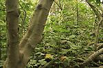 T-137 Fig trees in Ein Arubot