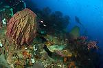 A diver looks on at a giant barrel sponge (Xestospongia muta) on a Saint Lucian reef