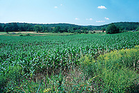 CORNFIELD<br /> The Most Widely Distributed Crop In The World<br /> Corn is a member of the grass family. It must be planted in rows so the stalks can cross-pollinate each other.