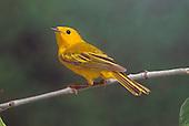 Yellow Warbler (Denrdoica petechia)....