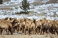 Herd of elk during winter in Wyoming