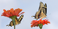 Giant Texas Swallowtails, with the male 'sneaking' up from behind.<br /> (Note the smaller sized, &amp; slightly tapered abdomen).