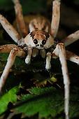 Wolf Spider (Allocosa), Socotra, Yemen