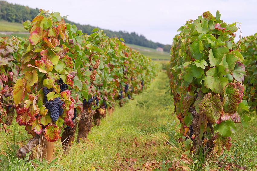 Vineyard. Pinot noir. Corton Grand Cru. Aloxe Corton, Cote de Beaune, d'Or, Burgundy, France