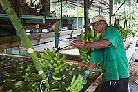 """France/DOM/Martinique/ Sainte-Marie: Plantation bananière """"Le Limbé"""" - Tri  et lavage des régimes de bananes sous le hangar à bananes"""