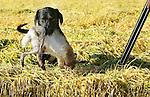 Foto: VidiPhoto<br /> <br /> BODEGRAVEN - Eenden, ganzen en hazen zijn maandag het haasje bij een jachtpartij in de buurt van Bodegraven, tijdens het zogenoemd &quot;jagen voor de voet.&quot; Een jachthond zorgt er voor dat het geschoten wild netjes wordt binnengehaald. Door een ware babyboom en een warm voorjaar zijn er dit jaar meer hazen dan ooit. Om te voorkomen dat de dieren grote schade veroorzaken aan gewassen van boeren en kwekers, wordt er in het hele land op dit moment volop gejaagd. Uit onderzoek van de Koninklijke Jagersvereniging blijkt dat het aantal Nederlanders dat positief staat ten opzichte van de jacht in bijna tien jaar tijd is gestegen van 28 naar 43 procent. Er zijn 27.000 Nederlanders met een jachtakte. Het jachtseizoen duurt tot 31 januari.